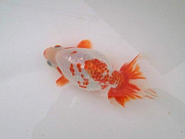 Нанкин золотая рыбка фото