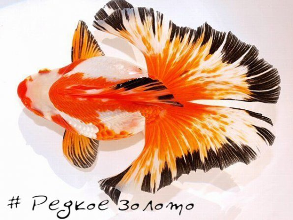 редкие золотые рыбки