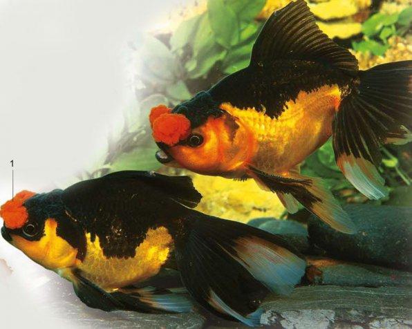 Помпон золотая рыбка фото