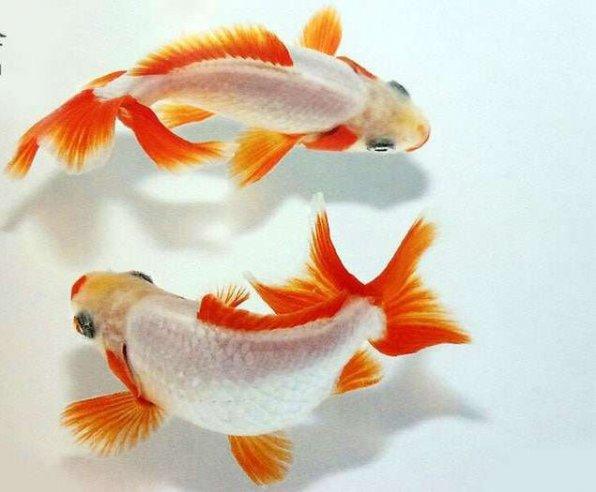 Джикин золотая рыбка фото