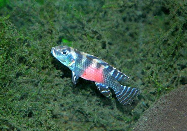 Нанохромис трансвиститус фото