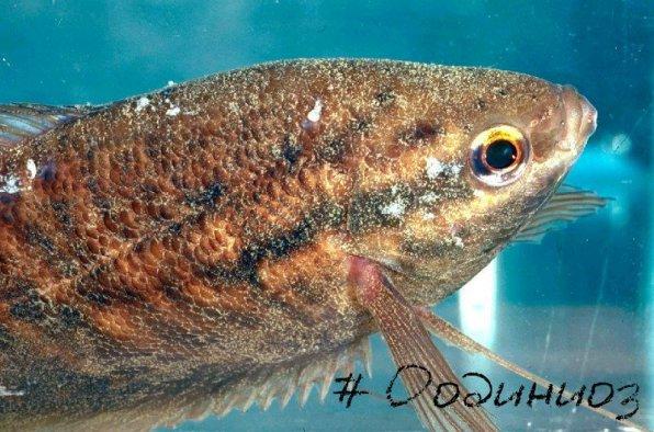 Оодиниоз рыб фото