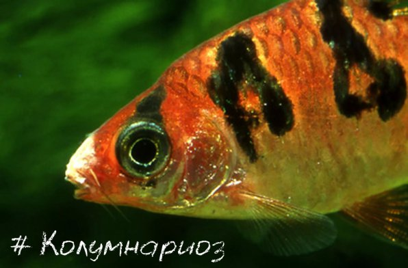 налет на губах рыб