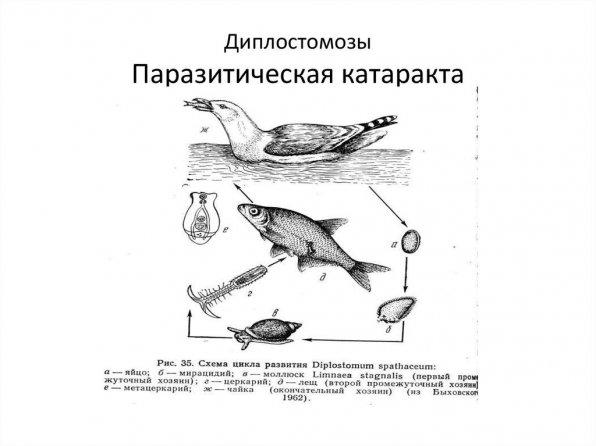 Диплостомоз рыб фото