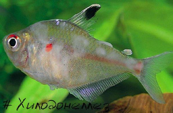 Хилодонеллез Ñ'Ñ€Ð¸Ñ Ð¾Ð´Ð¸Ð½Ð¾Ð· рыб фото