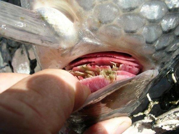 Дактилогироз рыб фото