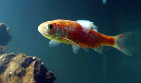Сапролегниоз рыб фото