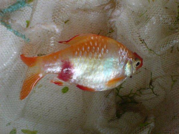 Аэромоноз рыб фото