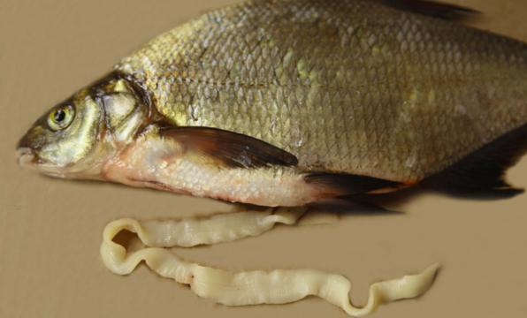 Лигулез рыб фото