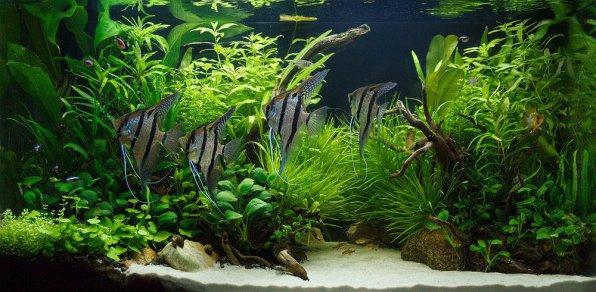 Совместимость аквариумных растений с рыбками
