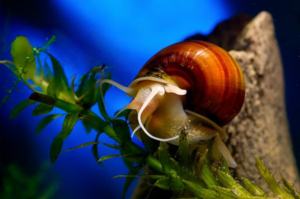 Совместимость аквариумных растений с улитками