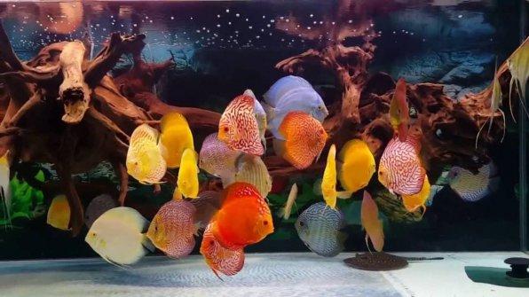 Дискусы рыбки содержание фото