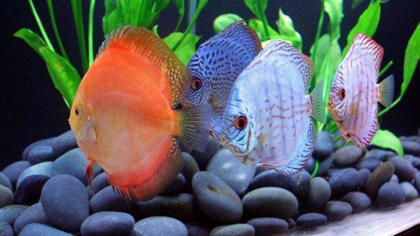 Рыба дискус содержание