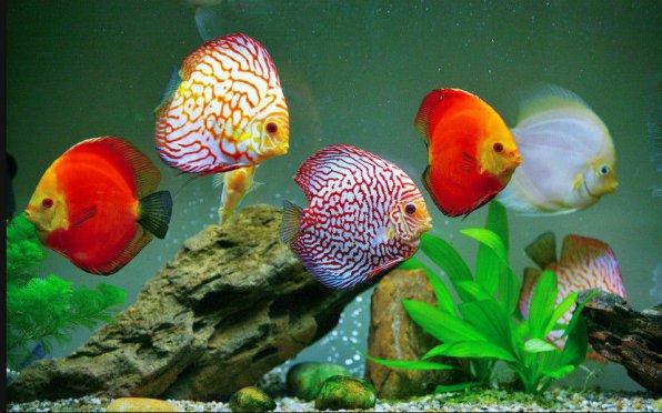 Дискусы - красивые мерные амазонские рыбы