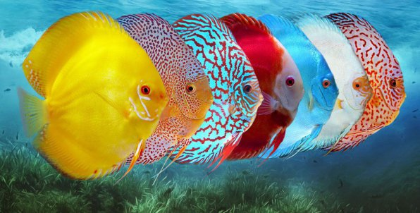 Дискусы рыбки виды фото