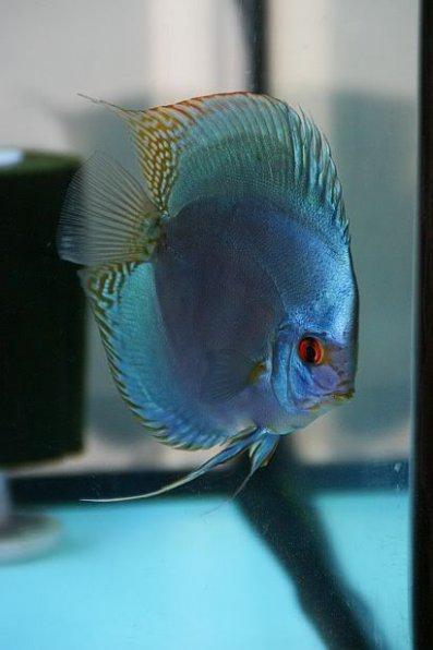 фото синий кобальтовый (Cobalt Blue) дискус