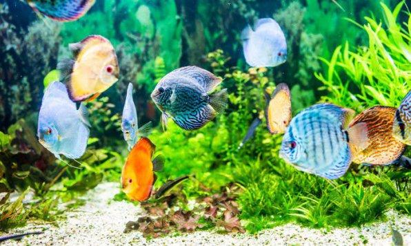 Дискусы рыбки фото