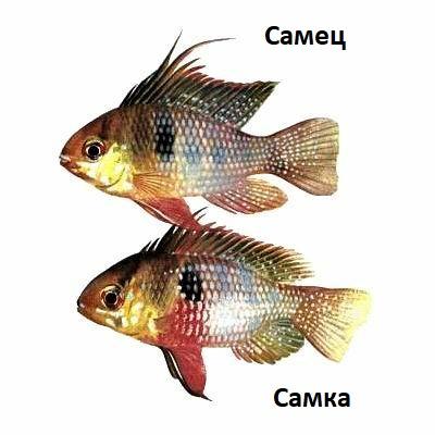 апистограмма самец и самка фото