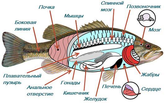 Строение рыб внутреннее фото