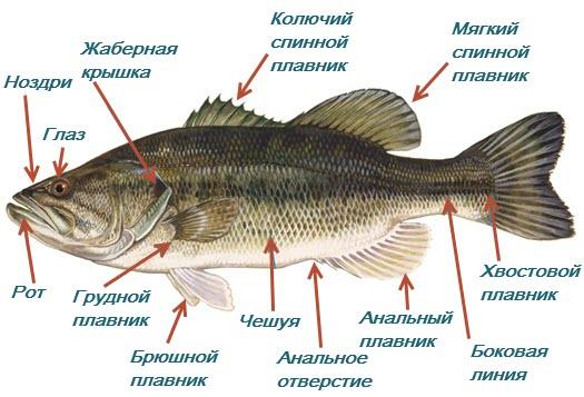 Строение рыб внешнее фото