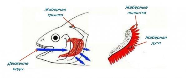 Строение рыб внутреннее жабры