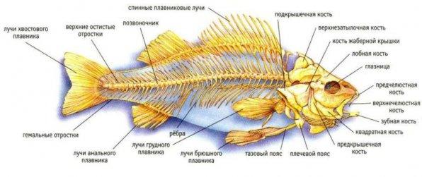 Строение рыб внутреннее скелет