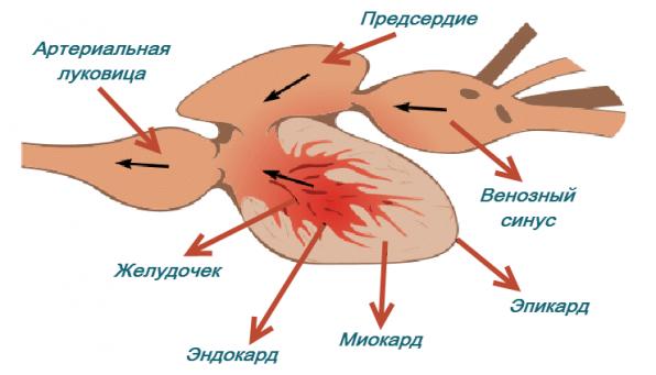 Строение рыб внутреннее сердце