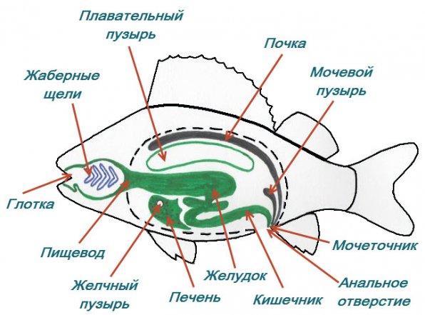 Строение рыб внутреннее пищеварительный тракт