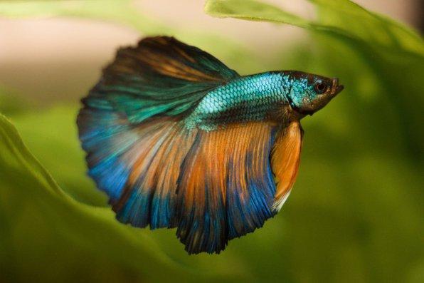 Рыбка петушок - маленький бедолага