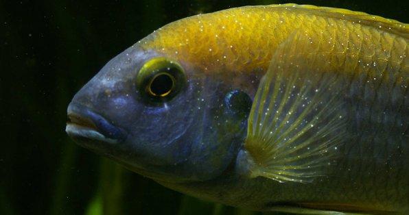 Фото-примеры ихтиофтириоза манки рыб
