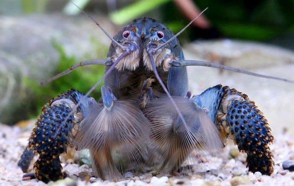 Габонская креветка фото