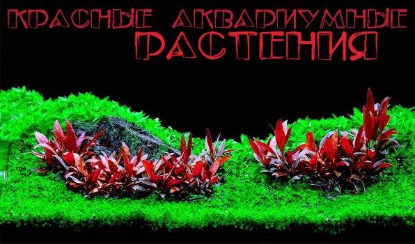 растения красного цвета в аквариуме