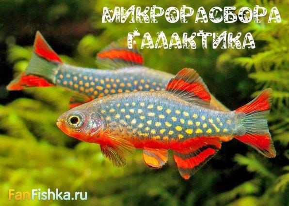 Микрорасбора рыбка - маленькие аквариумные крошки