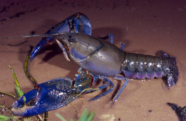 Австралийский синий рак фото