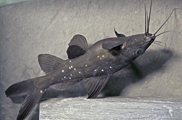 Черный багрус фото