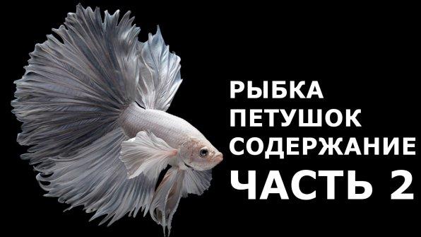 Рыбка петушок видео