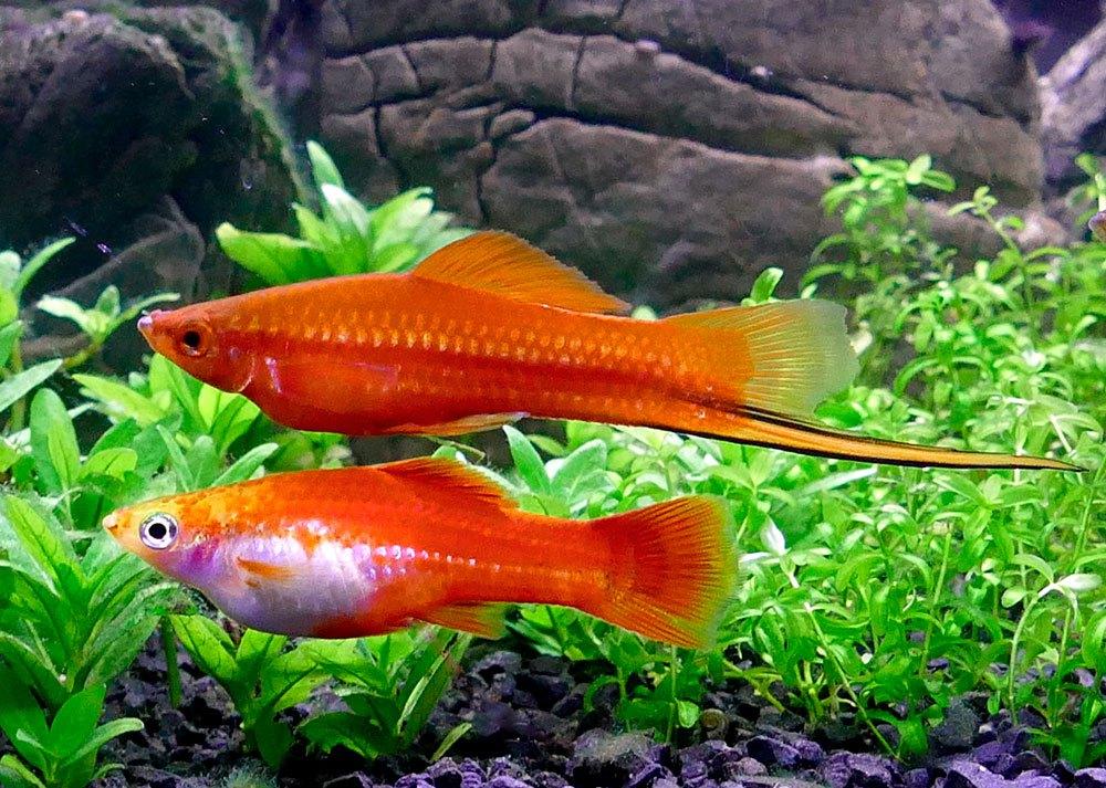 неприхотливые аквариумные рыбки фото с названиями и описанием бузова