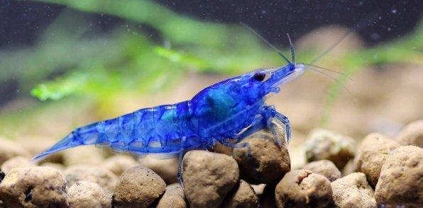 Креветка голубая мечта фото