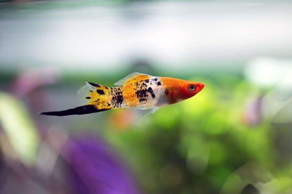 Меченосец - красивая аквариумная рыбка