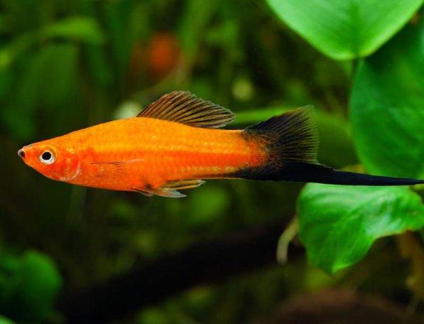 Берлинский меченосец рыбка