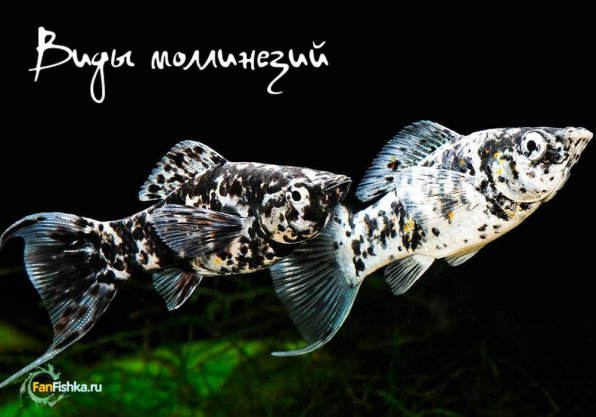 Виды молли рыбок