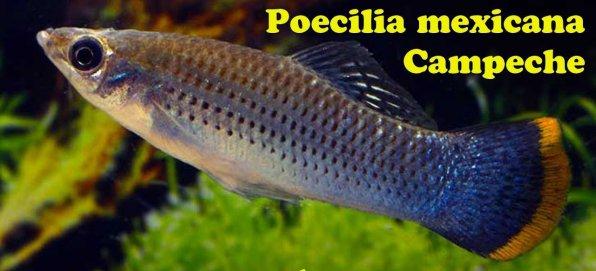 Виды моллинезия мексиканская