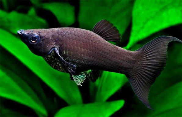 Черная рыбка молли