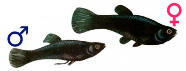 Моллинезия самец и самка различия