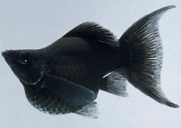 Моллинезия черная баллон фото