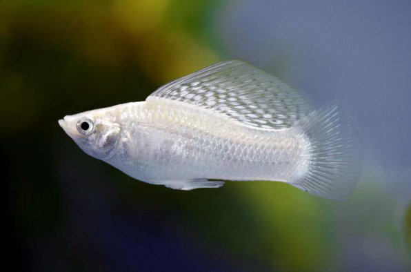Молли белая рыбка