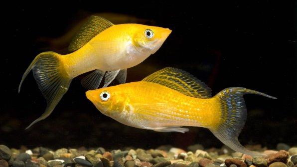 Желтая рыбка молли