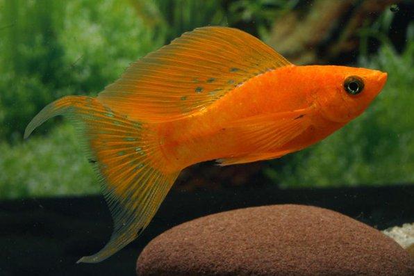 Моллинезия красная/оранжевая