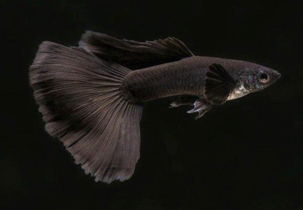 Гуппи сплошной черный цвет фото