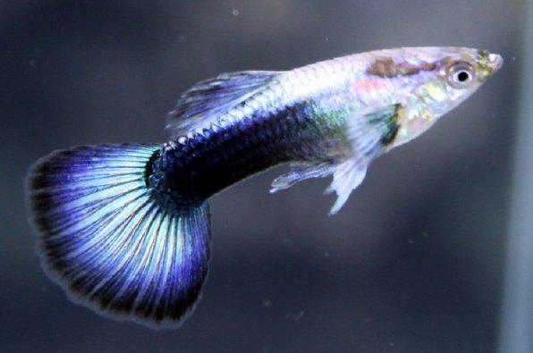 Гуппи синий туркис фото